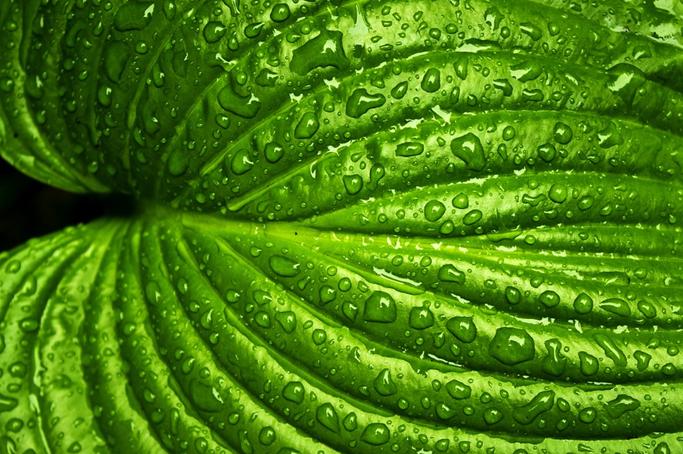 water-leaves